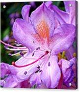 Purple Azalea Acrylic Print