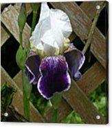 Purple Bearded Iris Acrylic Print