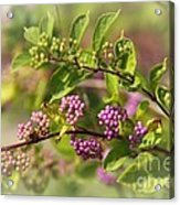 Purple Berries Acrylic Print