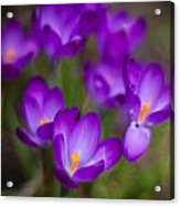 Purple Blanket Acrylic Print