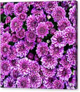 Purple Blanket Acrylic Print