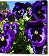 Purple Blooms Acrylic Print