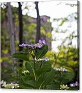 Purple Blossoms Lacecap Hydrangeas Acrylic Print