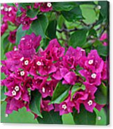 Purple Bougainvillea Acrylic Print