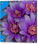 Purple Cactus Flowers Acrylic Print