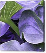 Purple Calla Lily Bush Acrylic Print