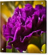 Purple Carnation Acrylic Print