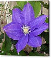 Purple Clematis Full Bloom Acrylic Print