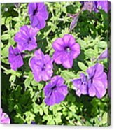 Petunias Purple Club Acrylic Print