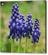 Purple Cluster Acrylic Print