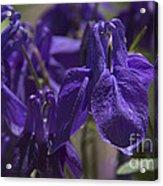 Purple Colimbine 1 Acrylic Print