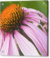 Purple Cone Flower Echinacea Acrylic Print