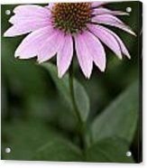 Purple Cone Flower Acrylic Print
