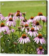 Purple Cone Flowers Acrylic Print