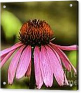 Purple Coneflower - Single Acrylic Print