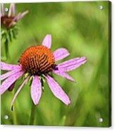 Purple Coneflower 8732 Acrylic Print