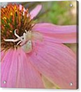 Purple Coneflower With Crab Spider Acrylic Print