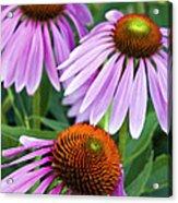 Purple Coneflowers - D007649a Acrylic Print