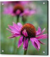 Purple Coneflowers In A Row Acrylic Print