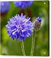 Purple Cornflower Acrylic Print