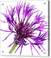 Purple Cornflower Acrylic Print by Jo Ann Snover