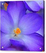 Purple Crocus Close-up Acrylic Print