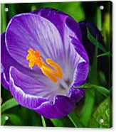 Purple Crocus Acrylic Print