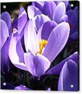 Purple Crocuses  Acrylic Print