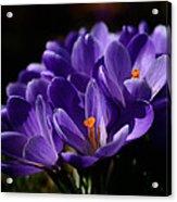 Purple Crocuses On A Spring Day Acrylic Print