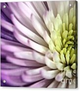 Purple Dahlia Acrylic Print