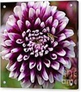 Purple Dahlia White Tips Acrylic Print