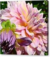 Purple Dahlia With Bud Acrylic Print