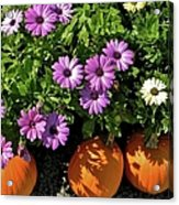 Purple Daisies And A Touch Of Orange Acrylic Print
