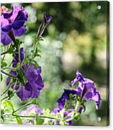 Purple Delight. Petunia Bloom Acrylic Print