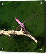 Purple Dragonfly Acrylic Print by Ella Char