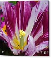 Purple Dual Coloured Tulip Acrylic Print