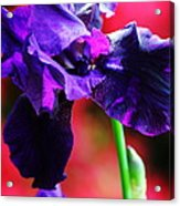 Purple Dutch Iris Acrylic Print