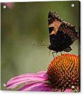 Purple Echinacea Flower Acrylic Print