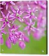 Purple Fireworks Acrylic Print
