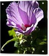 Purple Flower With Dark Background Acrylic Print