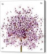 Purple Flowering Onion Acrylic Print