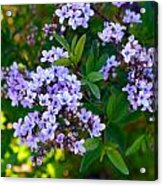 Purple Flowers Acrylic Print