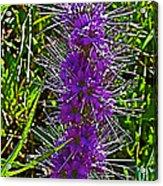 Purple Fringe On Bald Mountain In Ketchum-idaho Acrylic Print