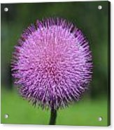 Purple Fuzz Acrylic Print