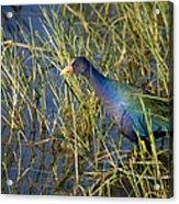 Purple Gallinule 2 Acrylic Print