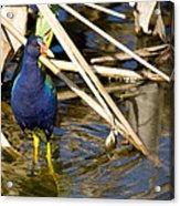 Purple Gallinule 4 Acrylic Print