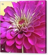 Purple Giant Zinnia Acrylic Print