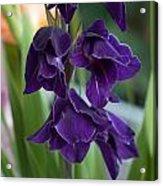 Purple Gladioli Acrylic Print