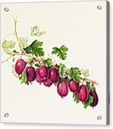 Purple Gooseberry Acrylic Print