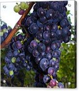 Purple Grapes Acrylic Print